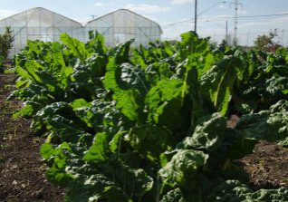 The Spurs Community Garden is part of the San Antonio Food Bank's Nutrition Education Program, which provides garden fresh organic produce to one of it's sponsors, the United States Department of Agriculture (USDA) Supplemental Nutrition Assistance Program.