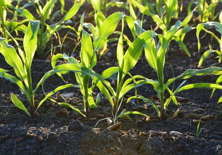 corn seedling sun soil crop row