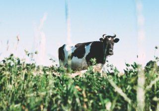 cow farm field graze cattle
