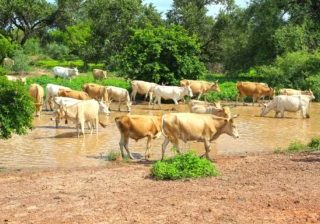 cows cattle river Africa Gambia stream