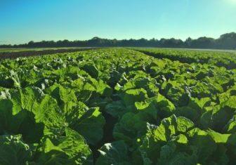farm field crop green produce lettuce sun