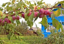 plum-tree-in-yard