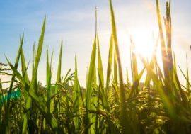 wheat field farm crop sun